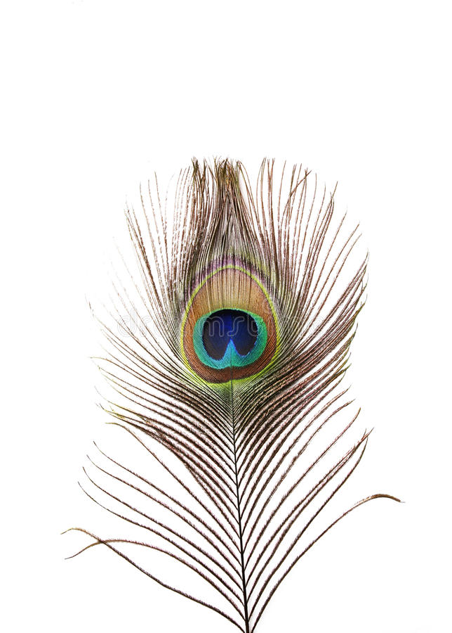 Peacock plume on white. Close-up royalty free stock photography