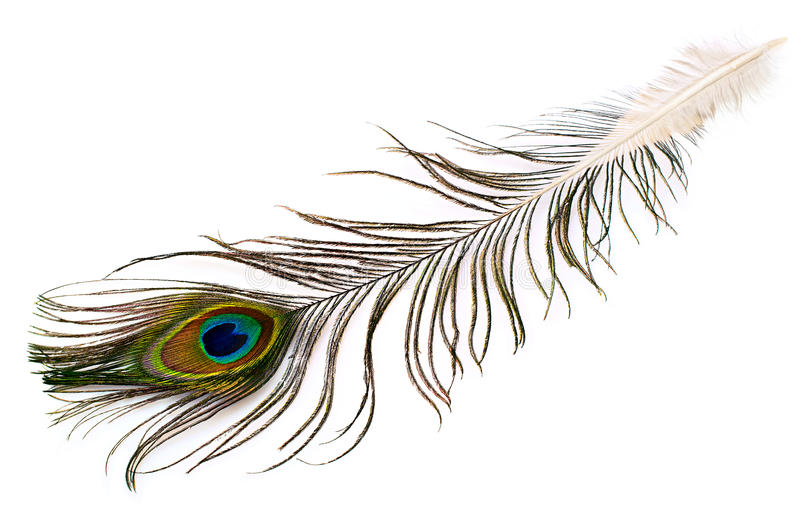 Peacock plume. On white close-up stock image