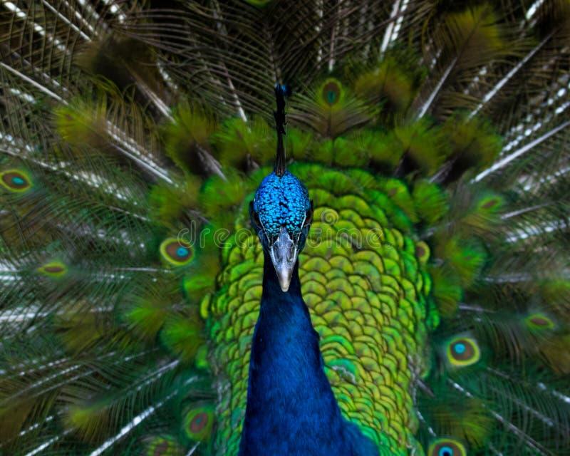 Peacock_portrait stock afbeeldingen