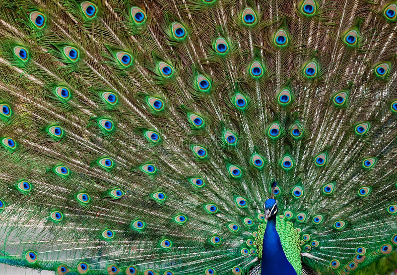Download Peacock portrait stock image. Image of green, spread - 14523331