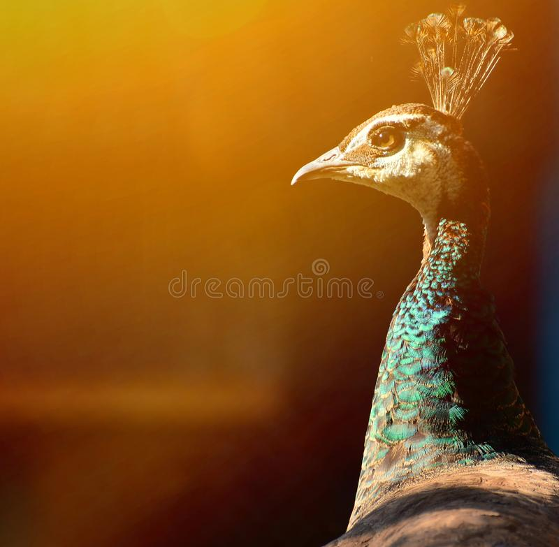 Peacock portrait royalty free stock image
