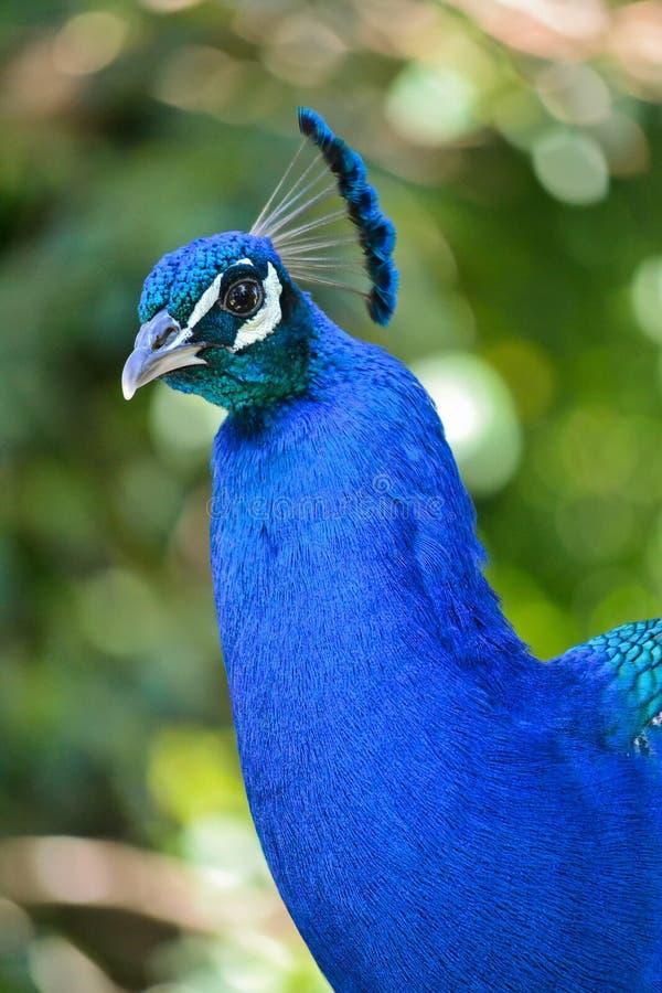 Peacock Portrait Stock Photography