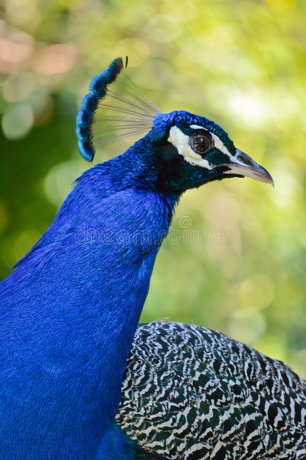 Download Peacock Portrait stock image. Image of black, blue, wing - 22317699