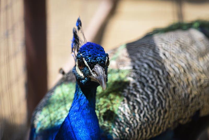 Peacock portrait closeup stock photography