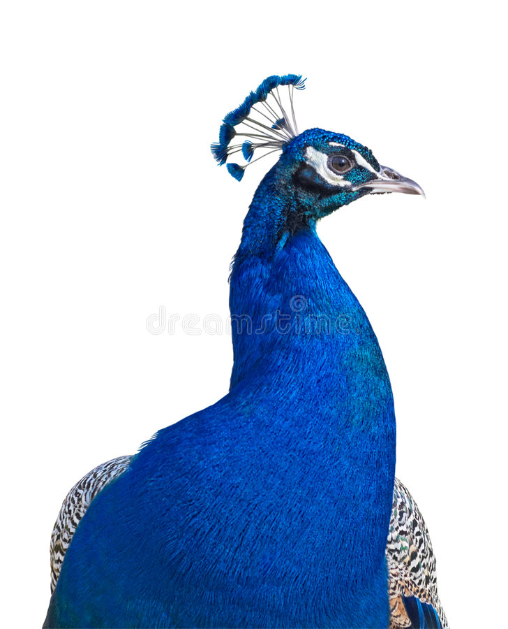 Peacock portrait cutout royalty free stock photo