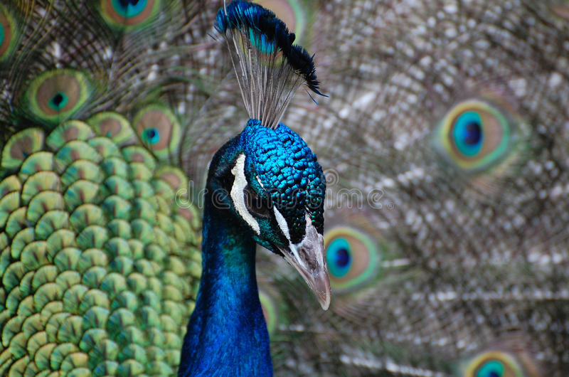 Peacock portrait. Turquoise crowned male peacock with elaborate iridescent plumage of blue and green feathers royalty free stock image