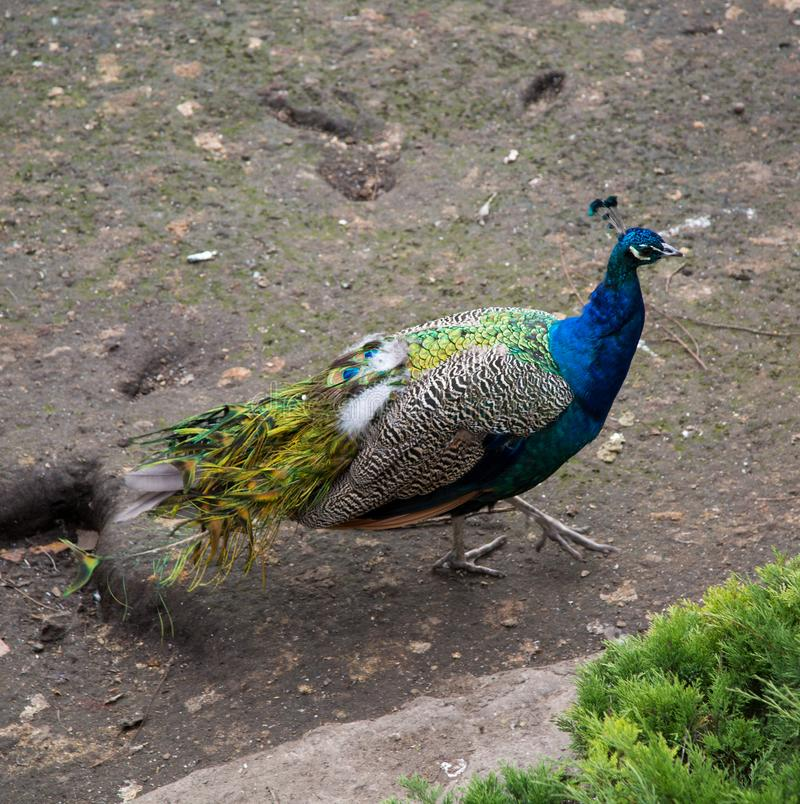Peacock prachtige paarse kleur loopt de aarde Natuur, ornithologie, royalty-vrije stock fotografie