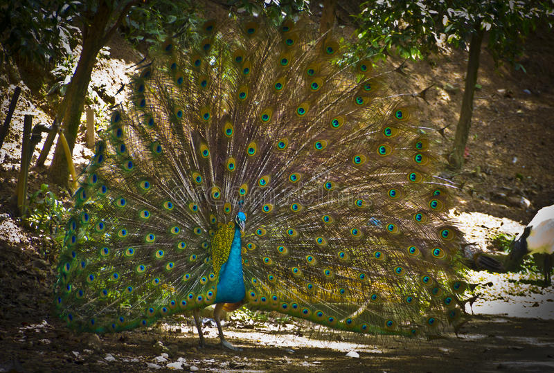 Download Peacock stock photo. Image of beautiful, bright, nature - 55099656