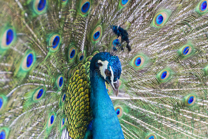 Download Peacock stock image. Image of beak, fancy, mating, animal - 55099801