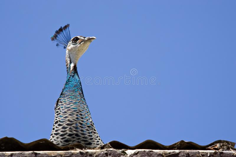 Peacock on the roof stock photography