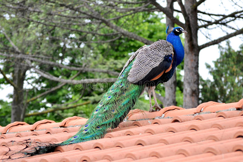 Peacock. On a roof close up photo stock photos