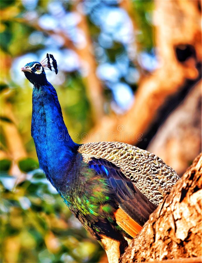 Peacock the royal bird. With naturally vibrant colors