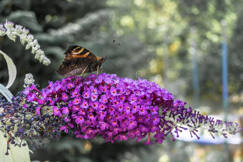 A peacock`s eye Aglais io sits on the umbel of a purple lilac Syringa vulgaris and sucks nectar from the small flowers with i. Ts long trunk, butterfly royalty free stock images