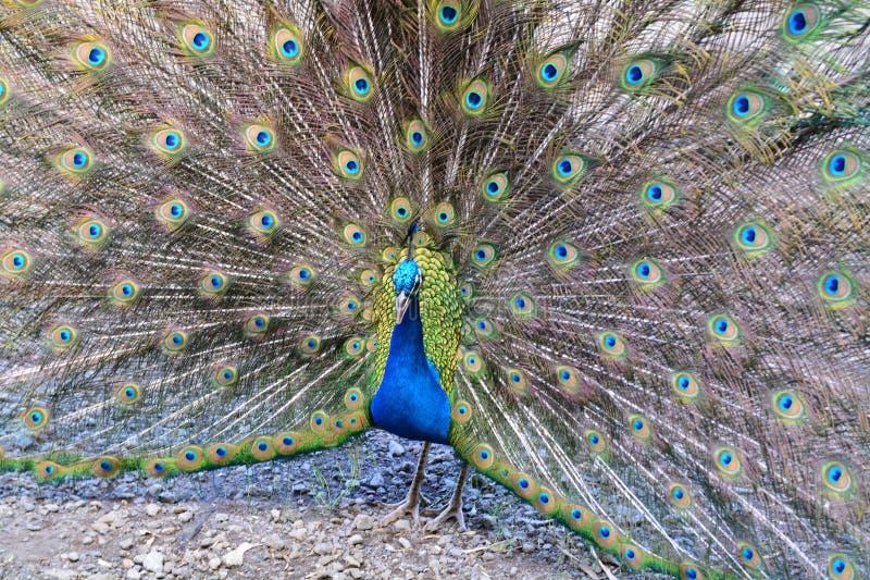Peacock& x27; s Naturalny piękno fotografia stock