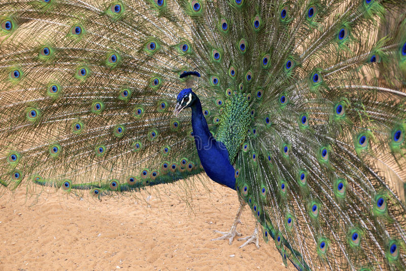 Peacock in a show mood. Peacocks are large, colorful pheasants typically blue and green known for their iridescent tails. These tail feathers, or coverts stock images
