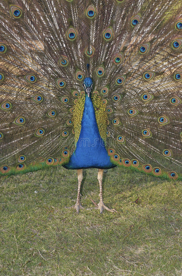 Download Peacock showing feathers stock photo. Image of display - 24422238