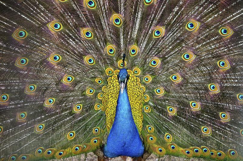 Peacock showing feathers. Young peacock with colorful feathers stock images