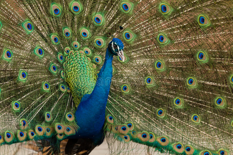 Peacock showing its beautiful feathers. Close up of peacock showing its beautiful feathers stock image