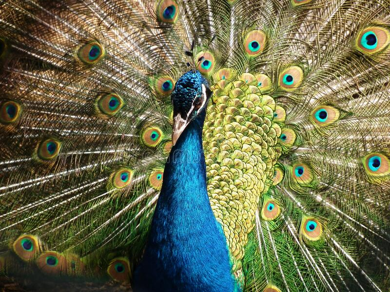 Peacock Showing Its Tail Free Public Domain Cc0 Image