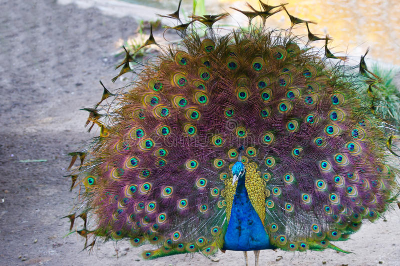 Peacock showing off feathers. Majestic peacock showing off feathers royalty free stock photography