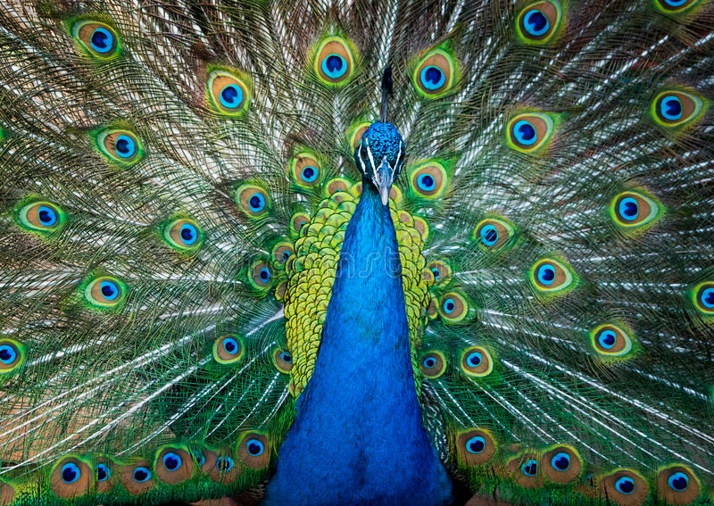 Peacock showing it's beautiful tail royalty free stock photo
