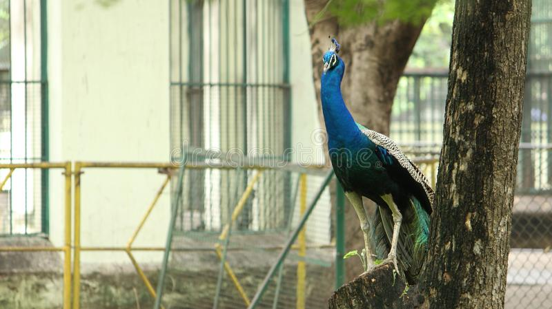 Peacock is sitting on the tree. At VOC Park in Coimbatore royalty free stock photography