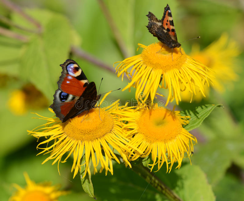Peacock and small tortoiseshell butterflies stock image