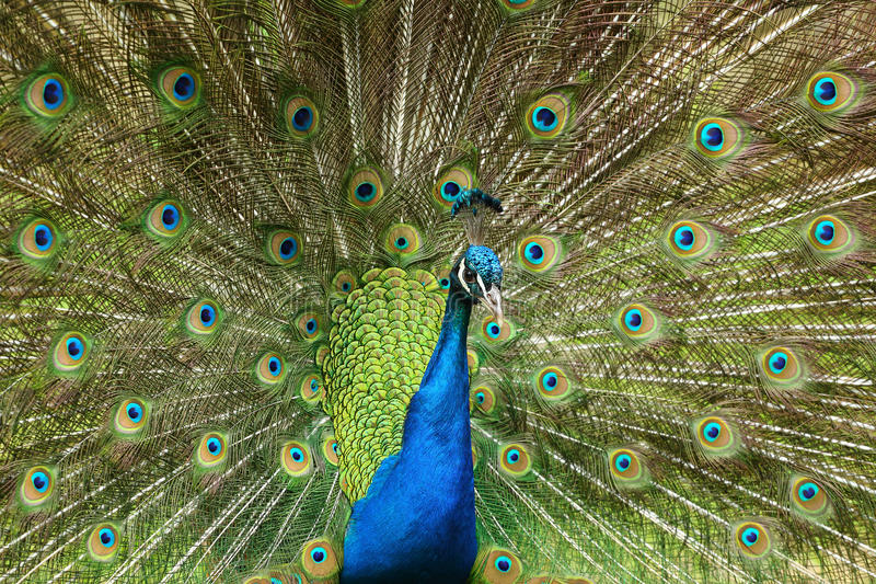 Download Peacock stock image. Image of peafowl, blue, peacock - 34446123