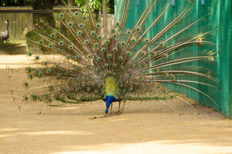 Peacock spread out its tail and cleans the feather royalty free stock images