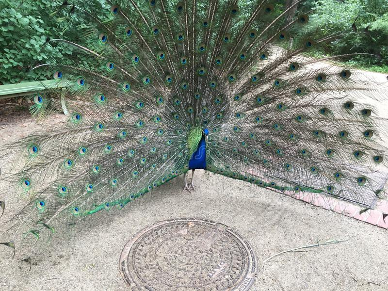 Peacock spreading its feathers. stock images