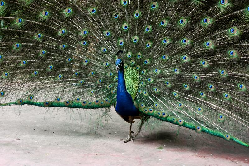 A peacock in the zoo stock photography