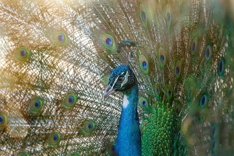 Peacock spreading tail feathers royalty free stock photos