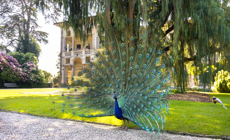 Peacock spreading tail Isola Madre lake maggiore. A blue peacock spreading tail under a big Kashmir cypress tree in the Isola Madre Mother Island area in Stresa royalty free stock photo