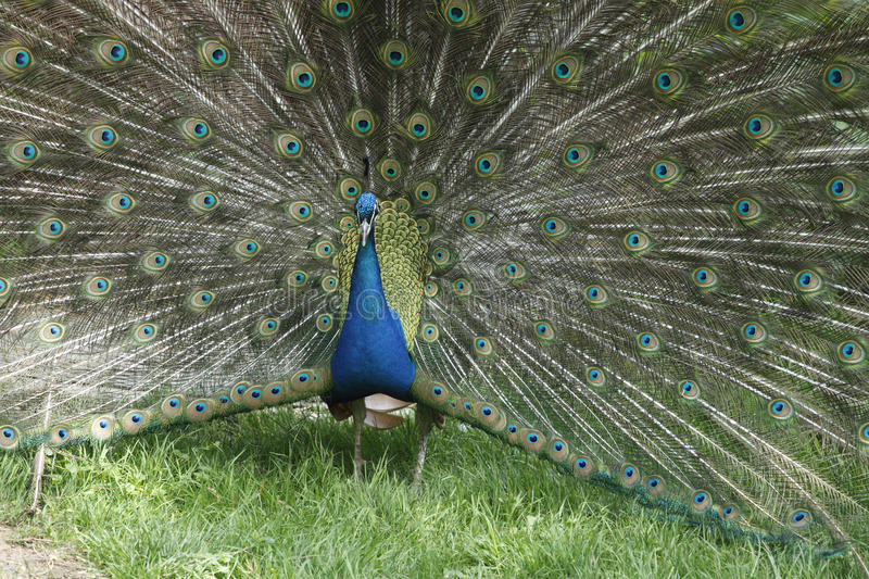 Download Peacock stock image. Image of courtship, slovakia, wildlife - 39514743
