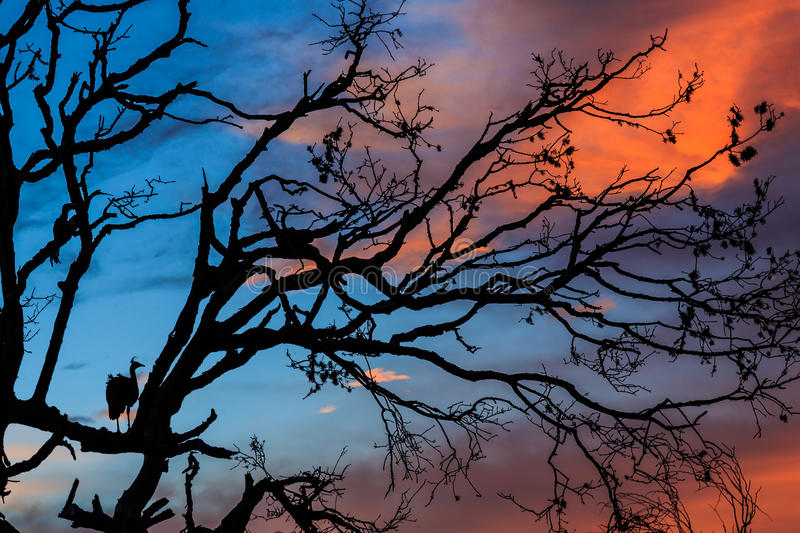 Peacock standing in a tree at sunset stock photography