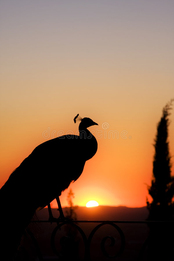 Peacock on sunset stock photography