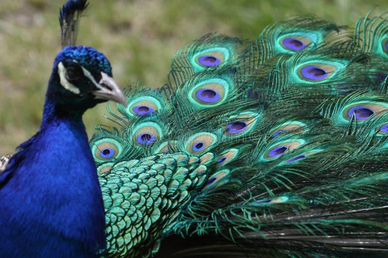 Peacock tail royalty free stock photo