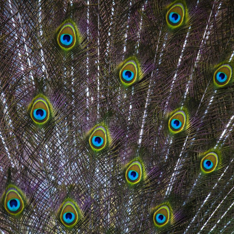 Free Peacock Tail Stock Photography - 17059882