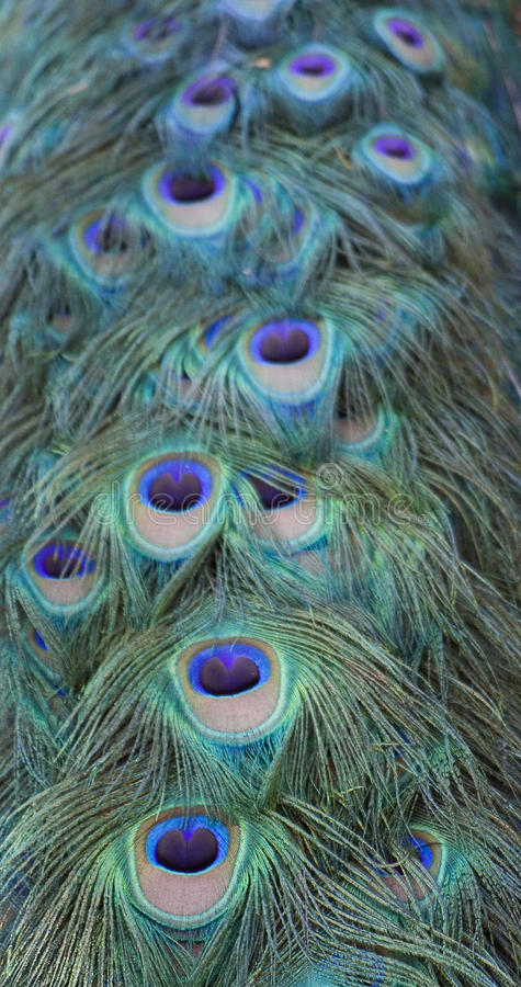 Peacock tail. The brightly coloured feathers peacock's tail taken in a Zoo in Italy stock photo