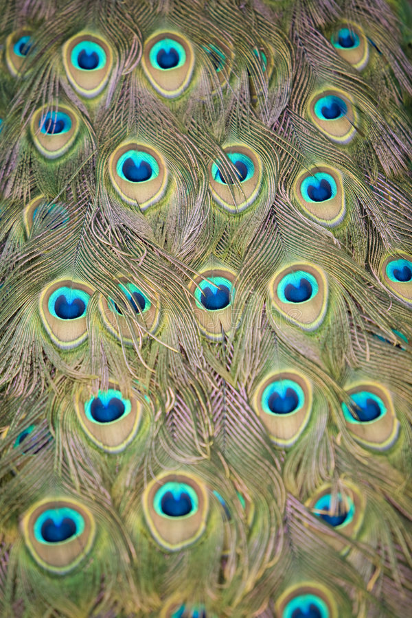 Peacock Tail 5. Close up image of an Indian Peacock tail plumage stock photography