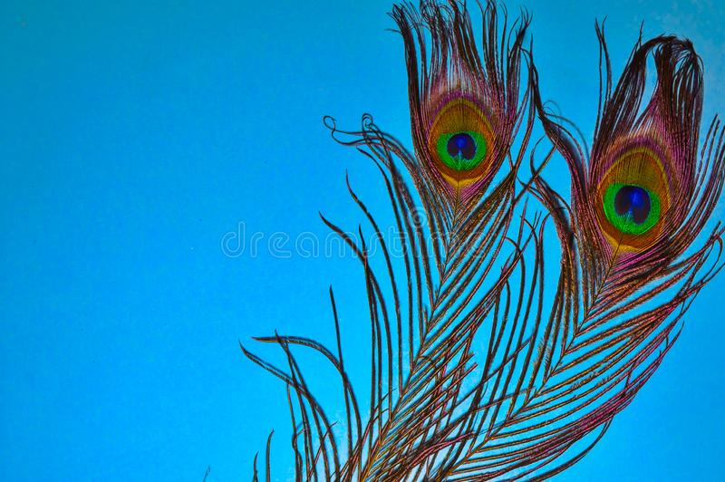 Peacock tail on blue background,birds feathers on blue background,copy space, text writing space,peacocks tail arts. Elegance, detail, close-up, color, india stock image