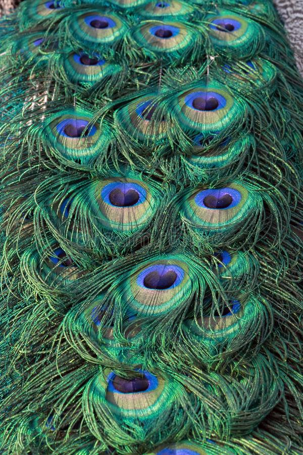 Download Peacock  tail close up stock image. Image of tail, bird - 6690679