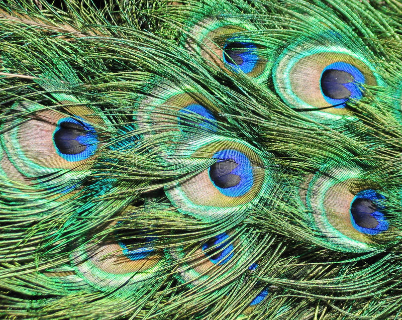 Peacock tail details royalty free stock photos