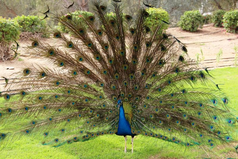 Peacock tail disbanded wildlife unusual sight. Peacock tail disbanded wildlife unusual spectacle of colored feathers courtship grace moment royalty free stock images