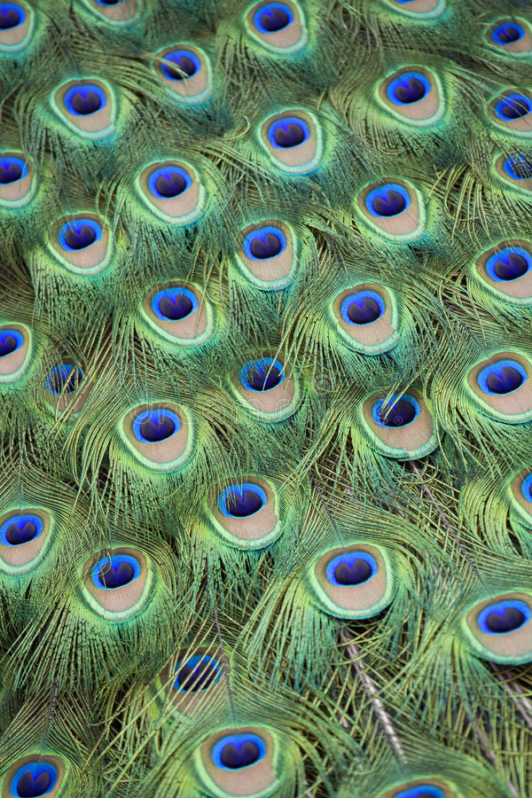 Peacock Tail Feathers. Full frame of colorful peacock tail feathers royalty free stock photo