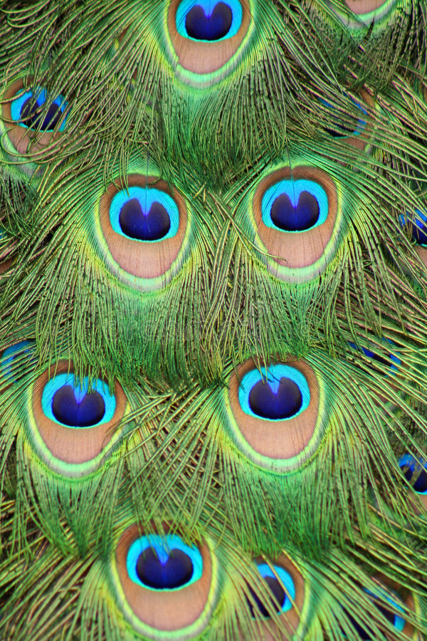 Peacock tail feathers stock photo