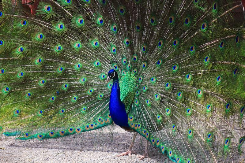 Peacock with Tail Feathers in a Wheel, Beacon Hill Park, Victoria, Vancouver Island, British Columbia, Canada. A peacock flashing its wheel of feathers in Beacon stock image
