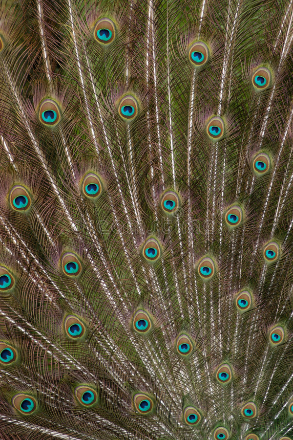 Download Peacock Train stock image. Image of decoration, background - 521083