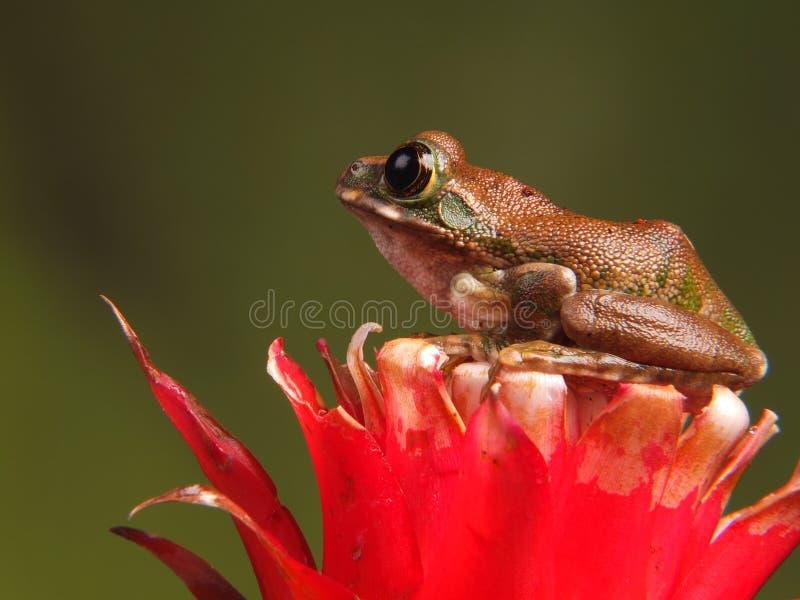 Peacock Tree Frog stock photography