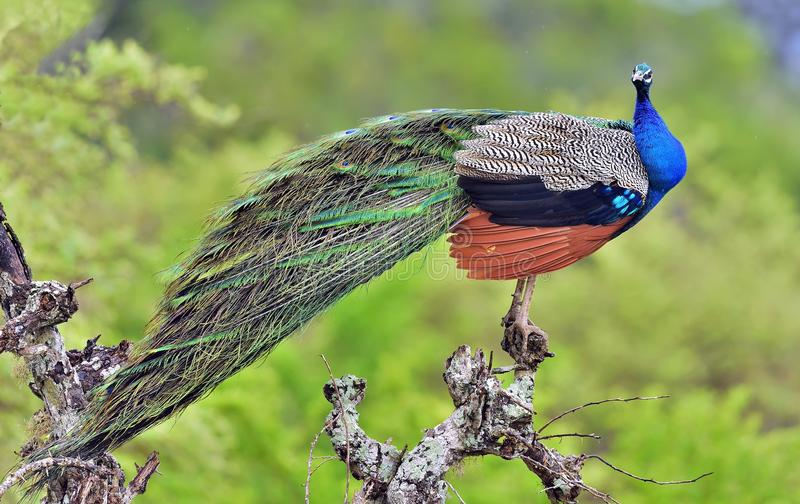 Portrait of beautiful peacock with feathers out. The Indian peafowl or blue peafowl Pavo cristatus. Peacock on the tree. Portrait of beautiful peacock with stock images